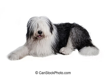 old english sheepdog isolated on white background