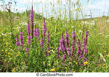 Purple loosestrife - Cluster of purple loosestrife Lythrum...