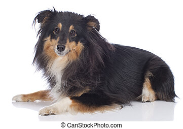 Sheltie dog isolated on white