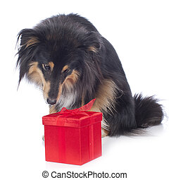 Sheltie dog isolated on white with red parcel