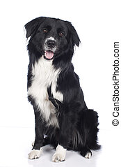 Australian shepherd crossbreed isolated
