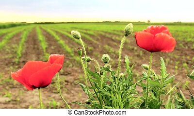 Coquelicot, Ponceau green field in the background ,sunset