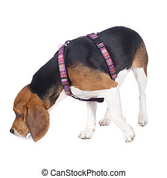 Beagle dog with his nose on the floor