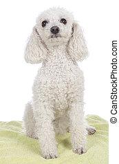 mignon, blanc, caniche, chien