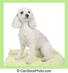 Cute white poodle dog isolated