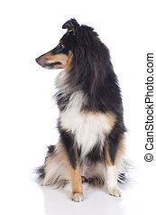 Sheltie dog isolated on white
