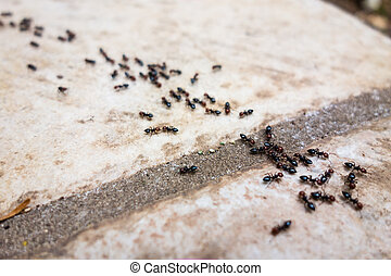 Ant's line - a lot of ants traveling in a row on the...