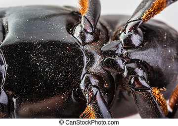 Insect belly - macro shot of a red weevil isolated over...