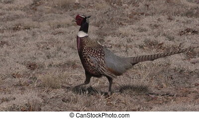 Rooster Pheasant Walking - a colorful rooster pheasant in a...
