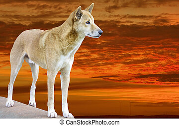 dingo in the sunset - dingo in the bright sunset in the...