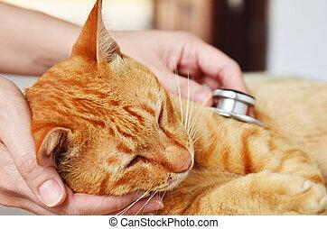 Veterinario, Examinar, gatito