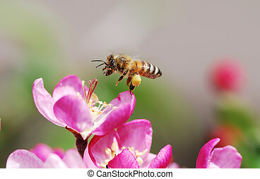 Flying honeybee collecting pollen at blossoms