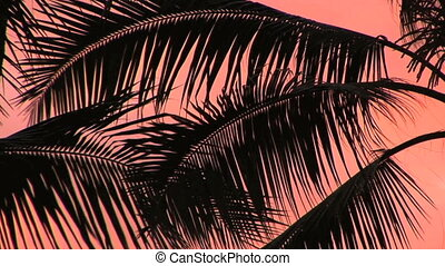 Palm Fronds - Backlit Palm Fronds against a coral pink sky,...