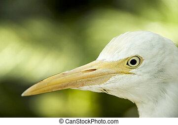 egret - closeup egret head