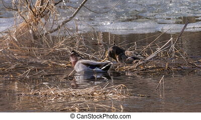 Wild mallard - Couple of wild mallards arrived from...