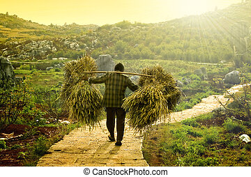 harvesting - a farmer carrying dry wheat after harvesting...