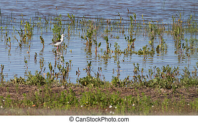 Stilt bird - Side view of Stilt bird walking in pond