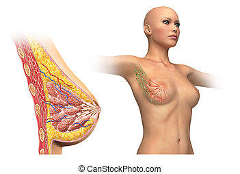 Woman breast cutaway diagram. - Woman breast cutaway, cross...