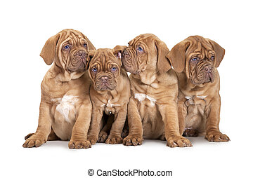 Four French Mastiff puppies - Nine month old French Mastiff...