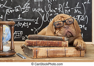 Books and puppy - Dogue de Bordeaux Puppy lying on Pile of...
