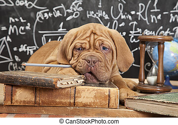 French Mastiff puppy with books - Puppy of French Mastiff...