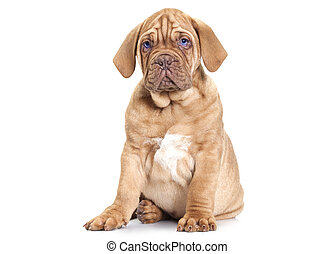 Puppy of Dogue de Bordeaux French mastiff - Dogue de...