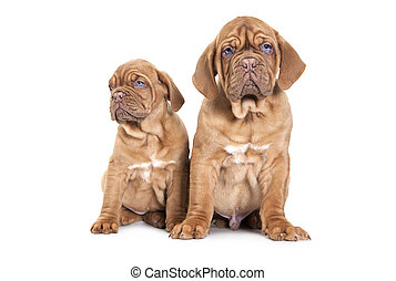 Portrait of tow French Mastiff pups - Portrait of two French...