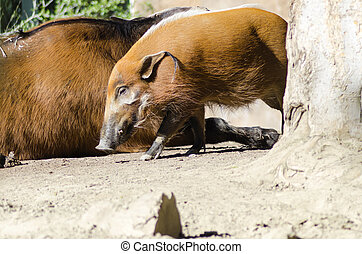 Red River Hog - A profile view of the red river hog, also...