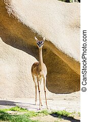 Southern Gerenuk - A portrait view of a long necked southern...
