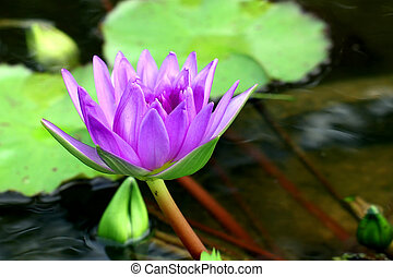 Lotus Flower - Beautiful lotus flower on water