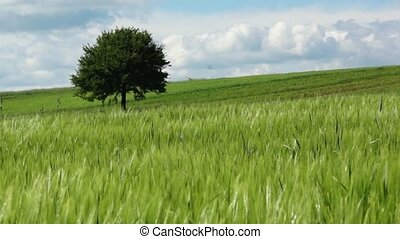 rural landscape - windy rural landscape with wheat and...