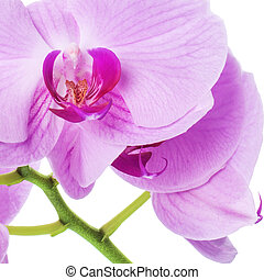 Orchid phalaenopsis flowers isolated on white