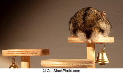 little hamster - small domestic hamster sitting on wooden...