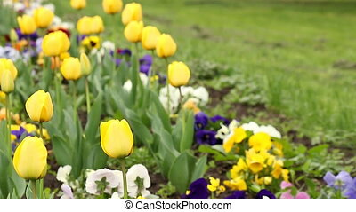 yellow tulip flower garden spring