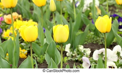 yellow tulip flower spring season