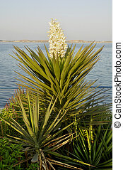 Yucca plant - Planted here as part of the Abu Dhabi Corniche...