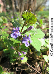 Creeping Charlie or Catsfoot (Glechoma hederacea)