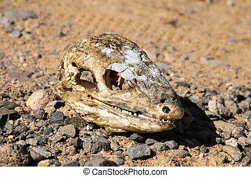 Canarian, seco, lagarto, cráneo