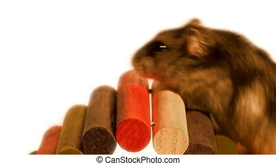 little hamster - animals, pets, hamsters, rodents, small,...
