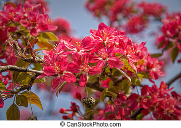 Red Malus - Red flowering tree malus is very decorative