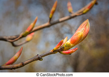 Buds red chestnut - Bush of red chestnut - Aesculus pavia...
