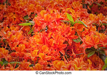 Rhododendron - Amazing flowering orange rhododendron in...