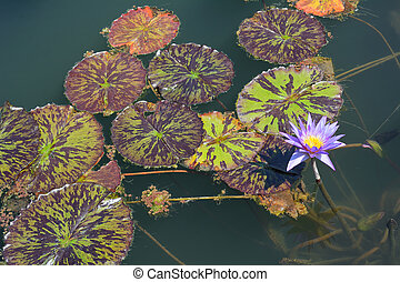 Lily Pads with Flowers - Field of Lily Pads with Flowers on...
