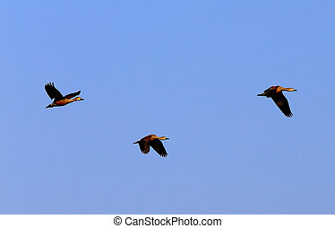 Flight of migratory birds in Bangladesh