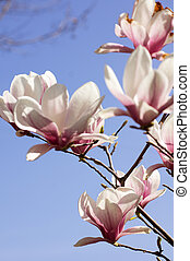 Magnolia tree blooming - Spring time, blooming of magnolia...