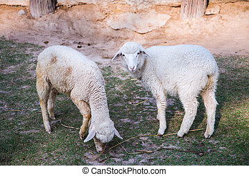 Two sheep in green meadow, together,