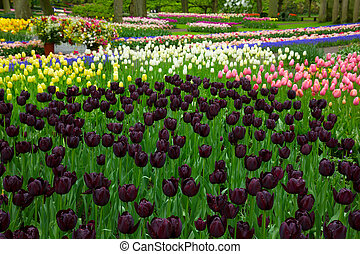 colorful spring flowerbeds with black tulips - colorful...