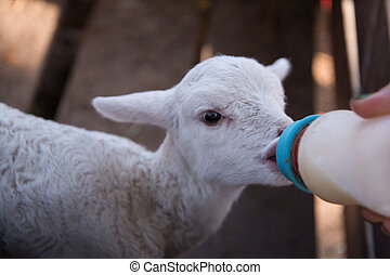 Feed baby sheep with milk fed from bottle