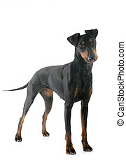 Manchester terrier in front of white background