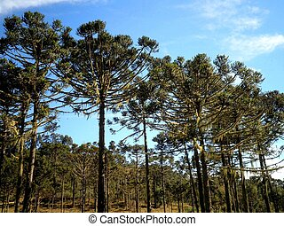 Parana Pine Tree Brazil - Araucaria angustifolia trees in...